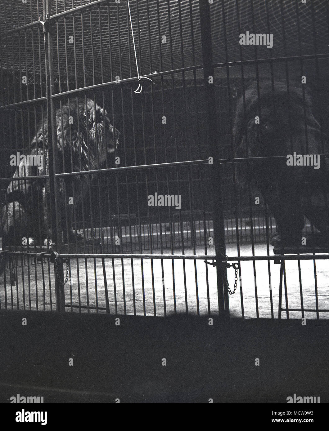 1950s, historical picture of 'big cats', Lions, sitting on stools inside a steel barred caged ring performing at the circus at Belle Vue, Manchester, England, UK. The circus was a poular attraction there in its day and ran for over 50 years.  Also at Belle Vue was a zoo and amusement park and a stadium which hosted speedway events. - Stock Image