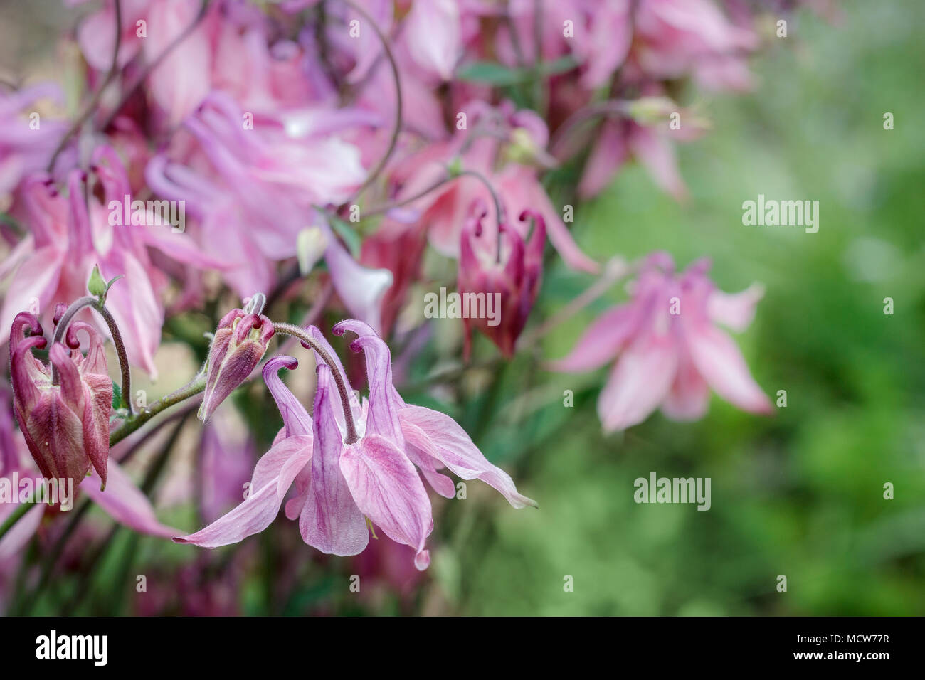Pink columbine flowers, with their long nectar spurs, are viewed close-up against a blurred green background in late spring. - Stock Image