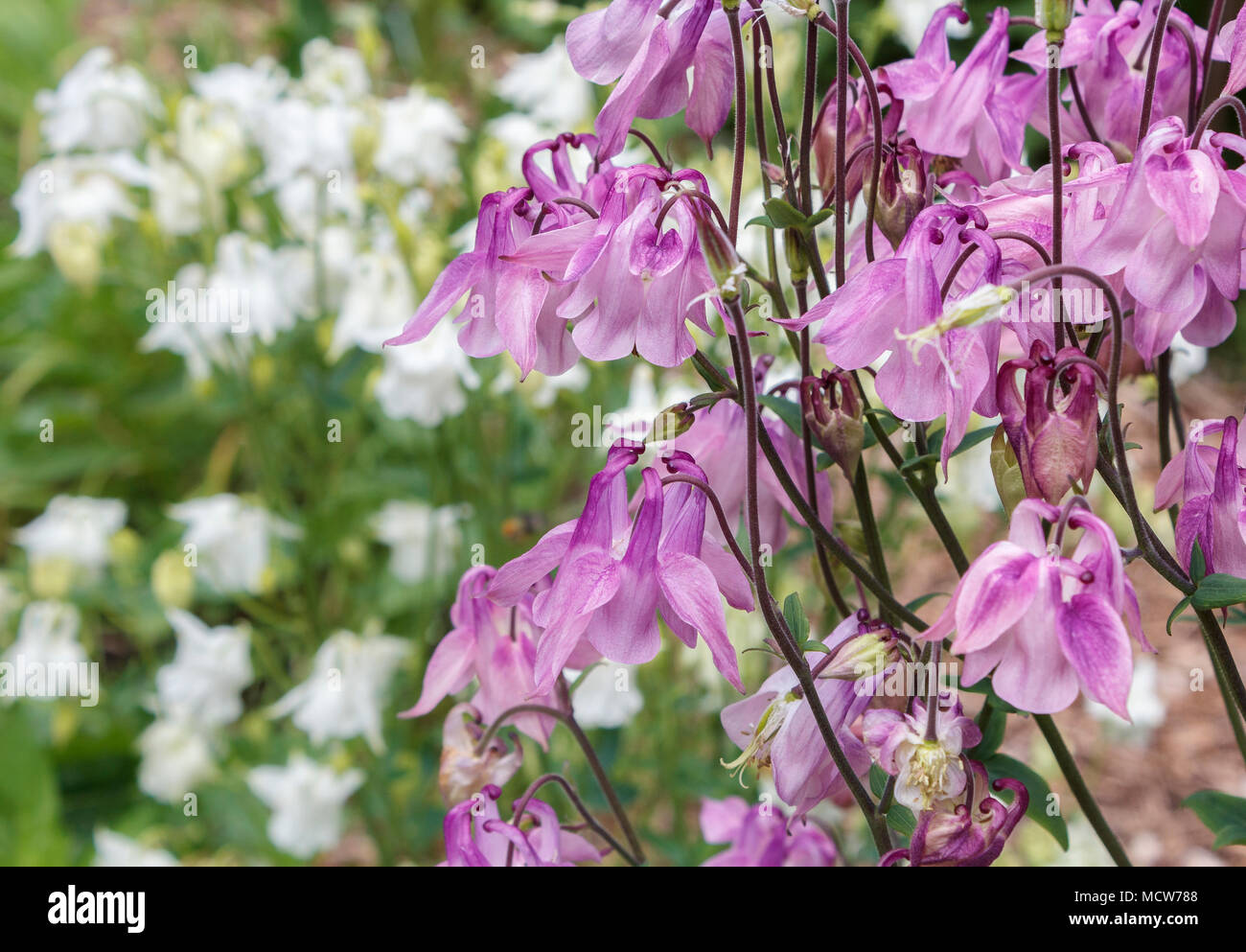 Bright pink columbine flowers with long nectar spurs are seen bright pink columbine flowers with long nectar spurs are seen close up against a blurred background of white flowered columbines and green foliage izmirmasajfo