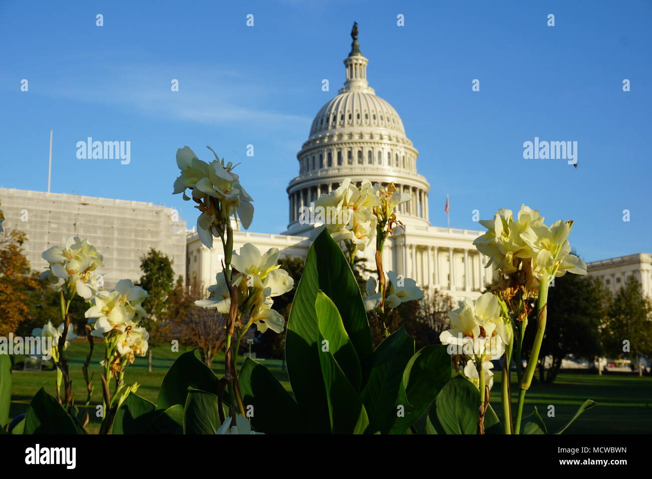 U.S. Capitol at Sunset with Cannas - Stock Image