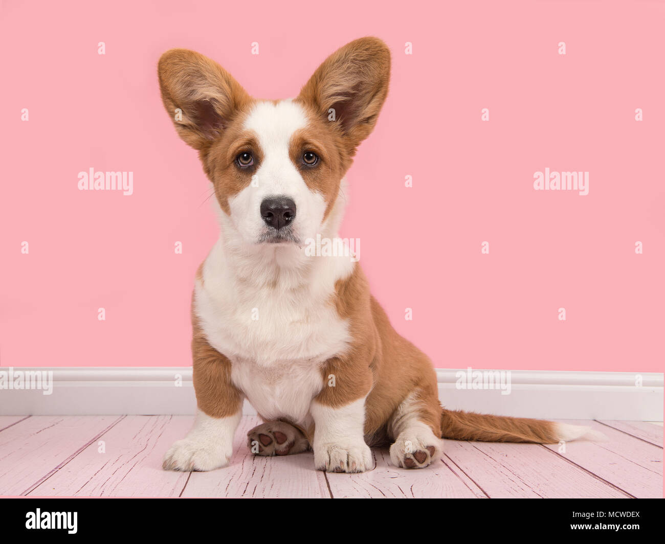 Cute welsh pembroke corgi puppy sitting looking at the camera on a pink living room setting Stock Photo