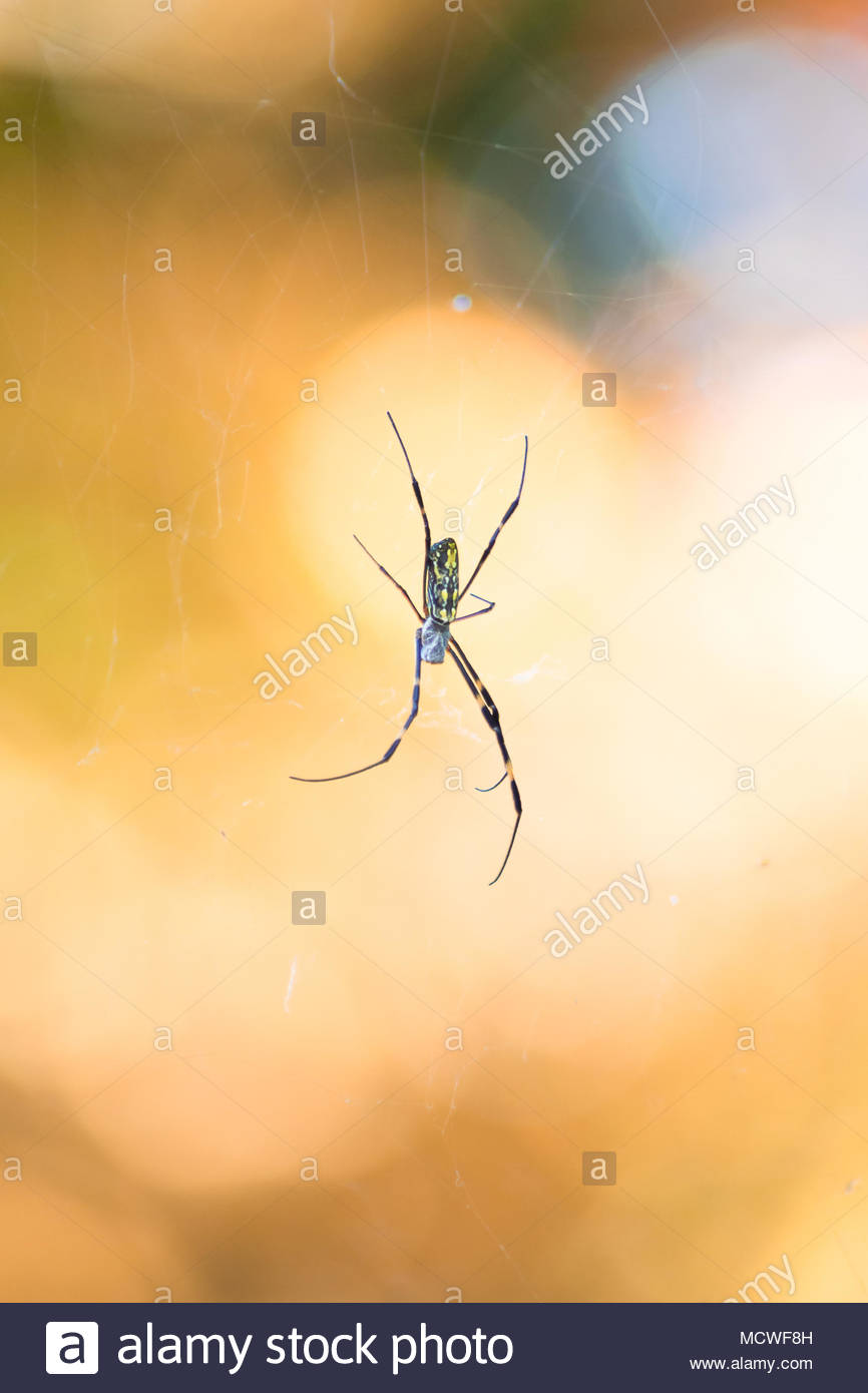 A Japanese Orb Weaver (Nephila Clavata) or locally known as a 'Joro Spider' sits on a web against a brightly coloured background with a beautiful Boke - Stock Image