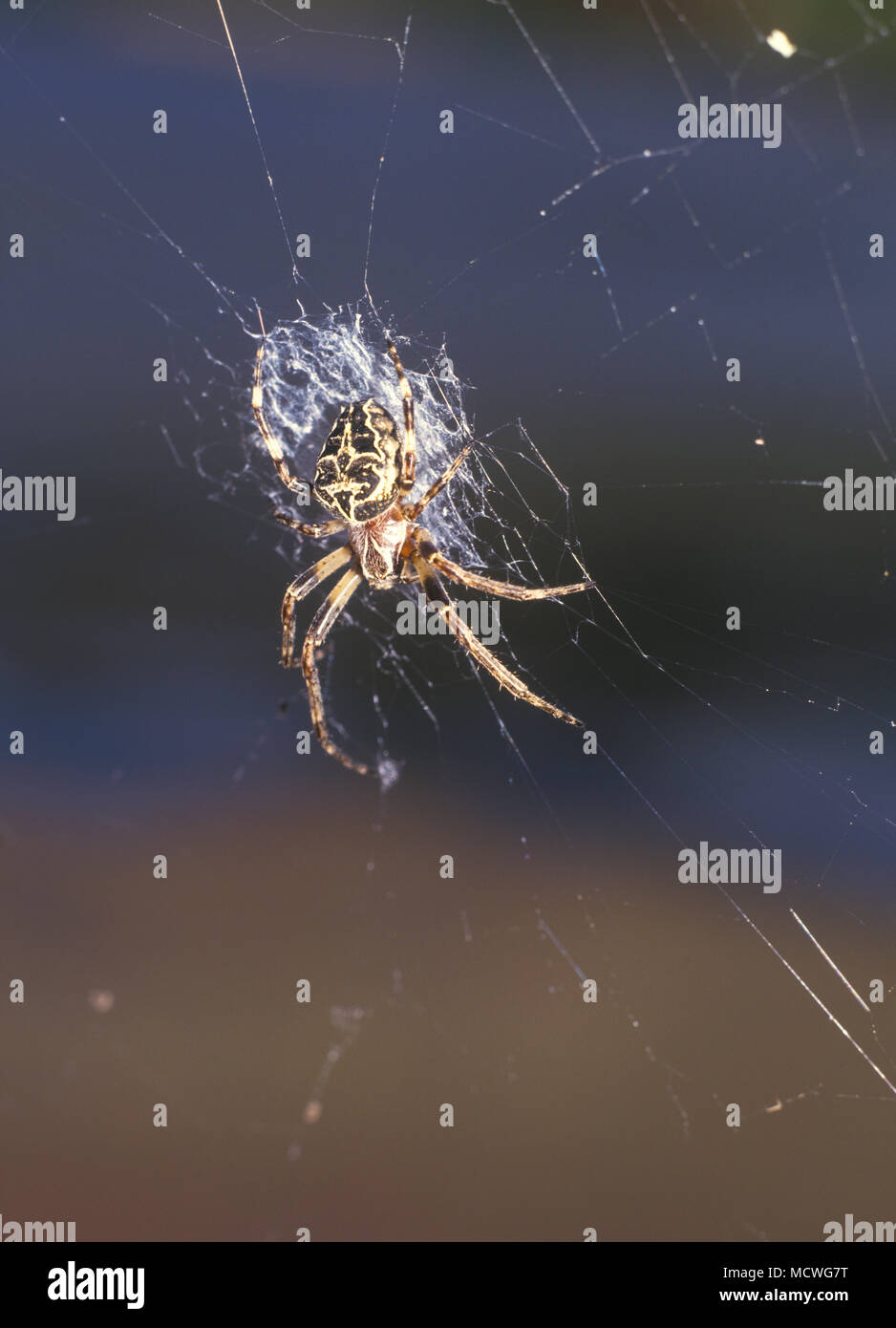 European garden spider, Araneus diadematus, on the web. The legs of orb-weaver spiders are specialized for spinning orb webs. The webs are built by - Stock Image