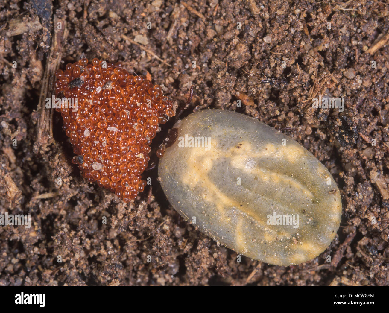 Castor bean tick, Ixodes ricinus. Engorged female with eggs. It's an European species of hard-bodied tick. It may reach a length of 11 mm when engorge - Stock Image
