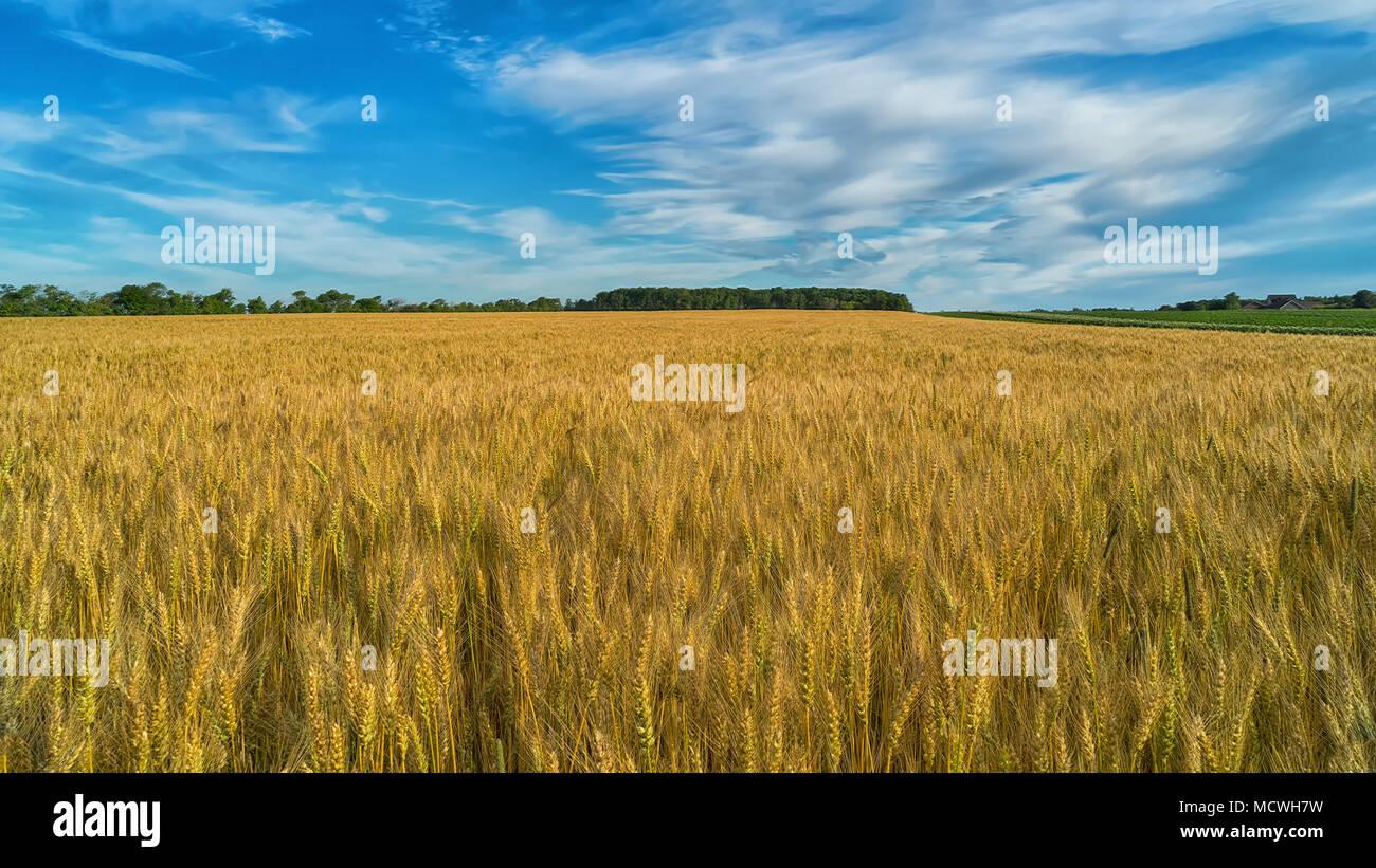 Wheat field in rural Prince Edward Island, Canada. - Stock Image