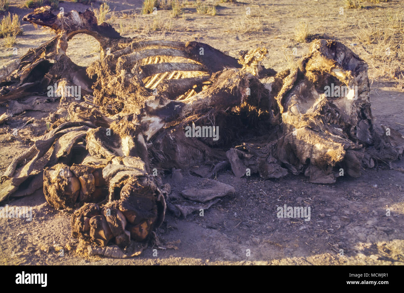 Putrid carcass of elephant killed by poachers. Estimated levels of illegal elephant killings in Central Africa have been occurring at unsustainable - Stock Image