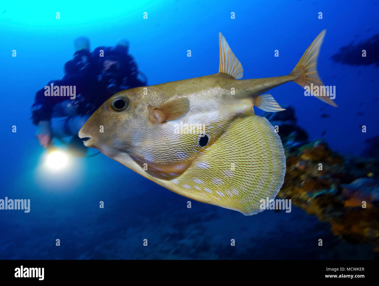 Threetooth puffer, Triodon macropterus, swimming with diver. Is the only living species in the genus. Other members of the family are known from - Stock Image