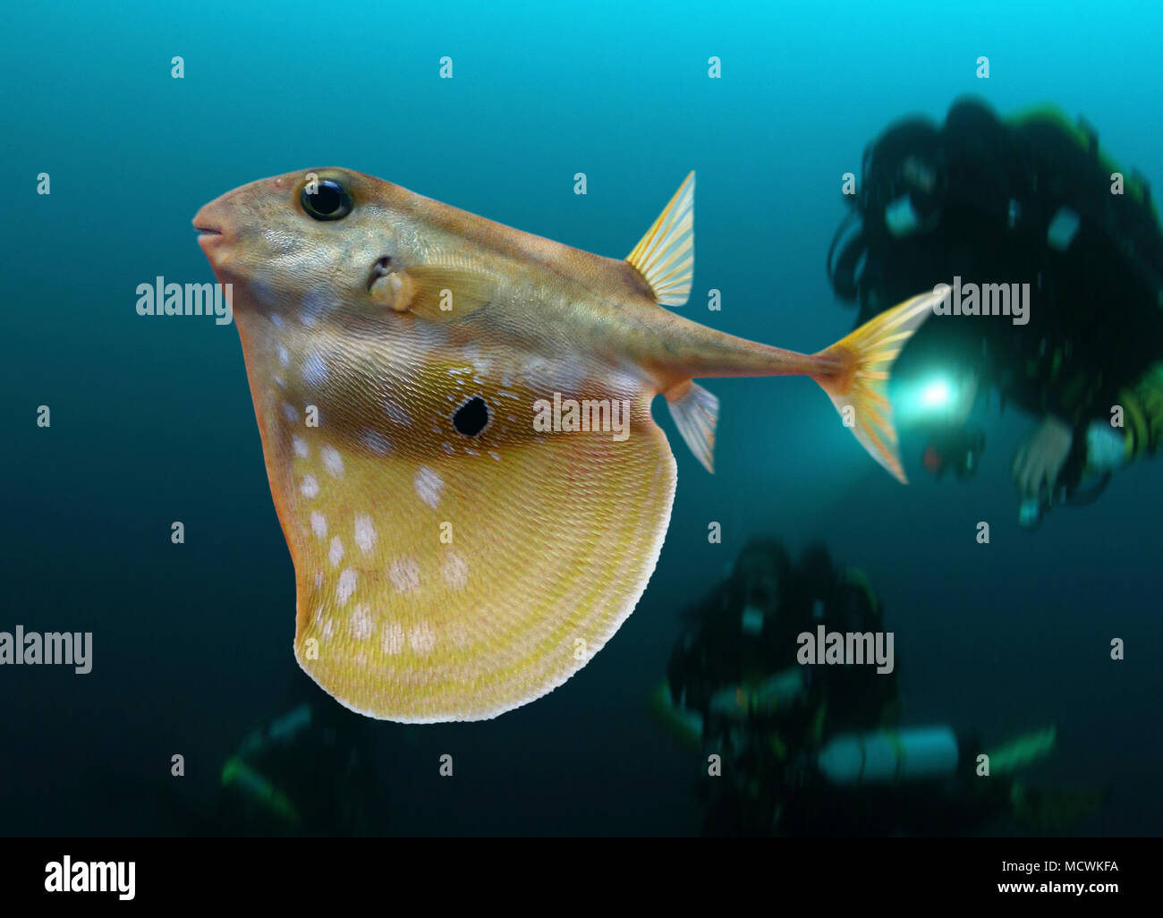 Threetooth puffer, Triodon macropterus, swimming with divers. Is the only living species in the genus. Other members of the family are known from - Stock Image