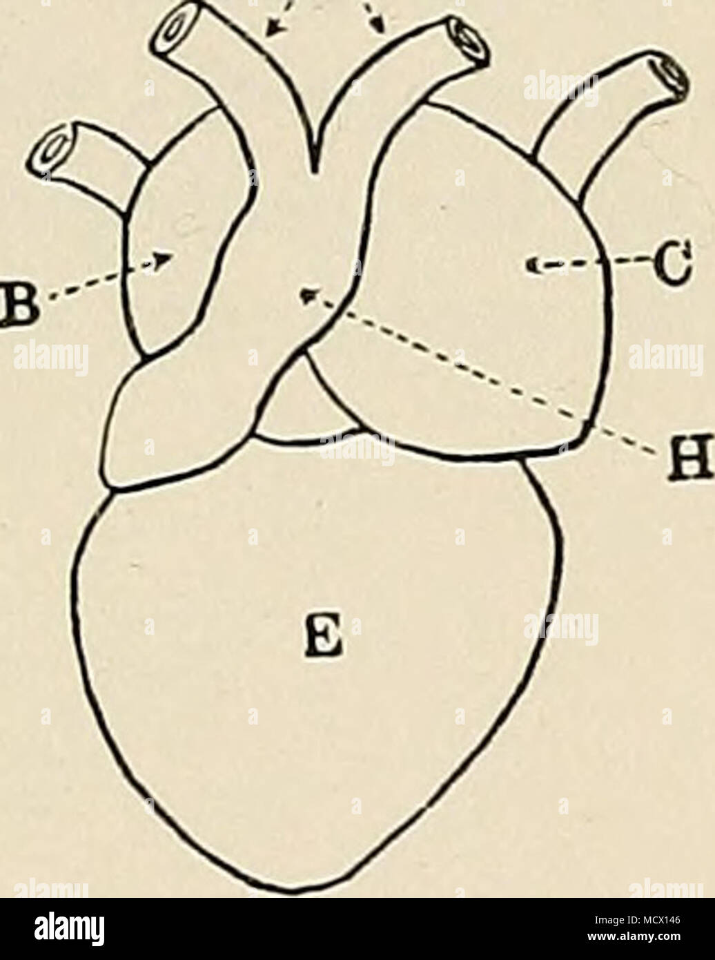 . b'ig. 12. The gross anatomy of frog'8 heart. (Ventral view after Cyou, dorsal view after Howes.) A, aortae; B, right auricle; C, left auricle; D, pulmonary vein K, ventricle; F, sinus venosus; G, sinu-auricular valves; H, bulbus arteriosus. sinus joins the auricle ; also the frenum, a slender ligament which attaches the dorsal wall of the ventricle to the peri- cardium. b. Origin and Course of the JVavc of Contraction. I.—Inspection.—Try to observe the place where the wave of contraction begins, and the order in which it spreads over the different chambers of the heart. See that when a part  - Stock Image