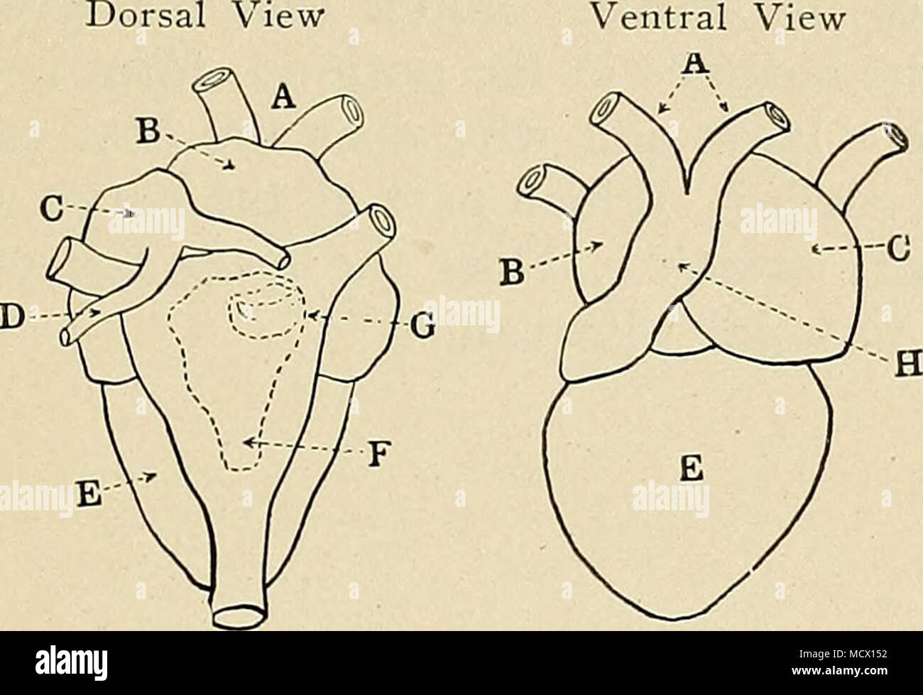 . Fig. 13. The gross anatomy of frog's heart. (Ventral view after Cyon, dorsal -view after Howes.) A, aortae; B, right auricle; C, left auricle; D, pulmonary vein; F,' ventricle; F, sinus venosus; G, sino-auricular valves; H, bulbus .arteriosus. b. Origin and Course of the Wave of Contraction. T.—Inspfction.—Try to observe the place where the wave of contraction begins, and the order in which it spreads over the different chambers of the heart. See that when a part contracts and drives the blood out, it grows paler, while the part receiving the blood swells and flushes. The change of color beg - Stock Image