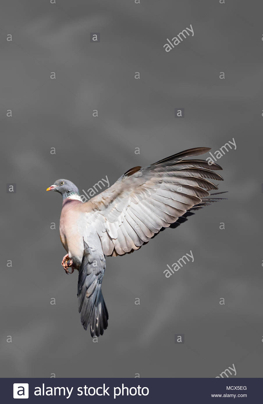 Wood Pigeon bird hovering in midair in an upright pose with its wings stretched backwards. Stopped in time. Frozen in time & space concept. Copyspace. - Stock Image