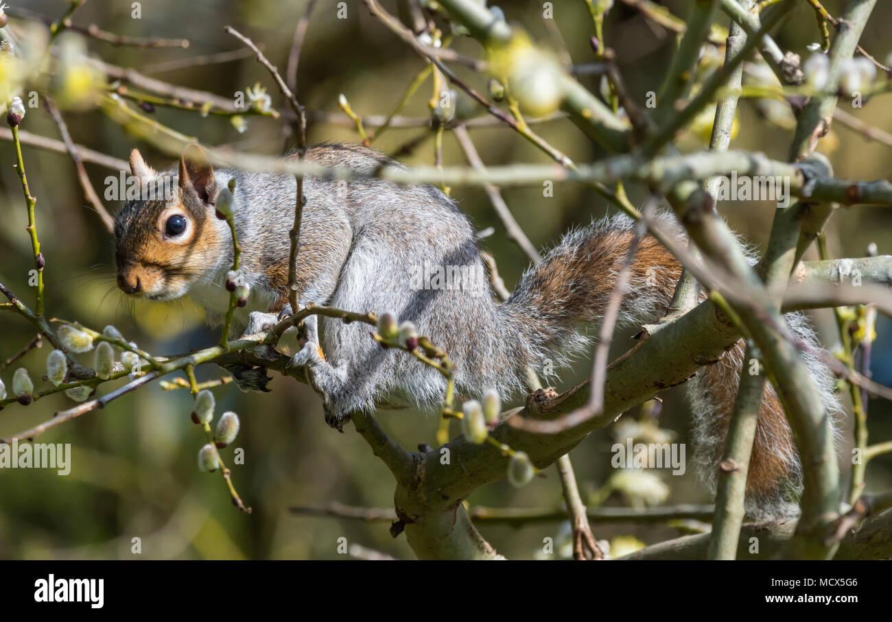 Eastern Grey Squirrel (Sciurus carolinensis) sitting in a tree in Spring in West Sussex, England, UK. Eastern Gray Squirrel. - Stock Image
