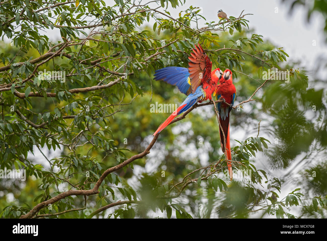 Scarlet Macaw - Ara macao, large beautiful colorful parrot from Central America forests, Costa Rica. - Stock Image