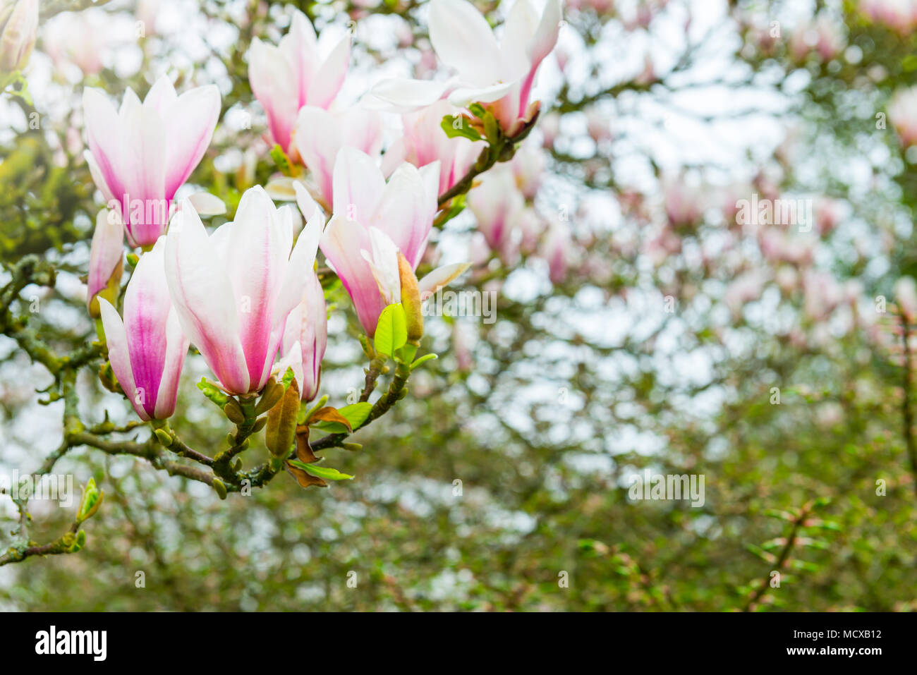 Magnolia Tree Bench Stock Photos & Magnolia Tree Bench Stock Images ...