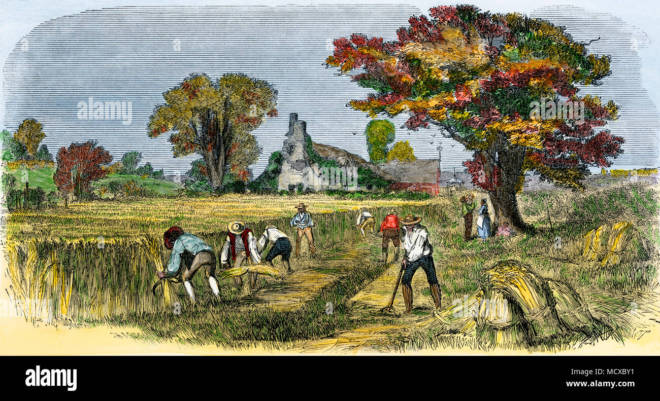 Reaping wheat by hand in the early 1800s near Syracuse NY. Hand-colored woodcut - Stock Image
