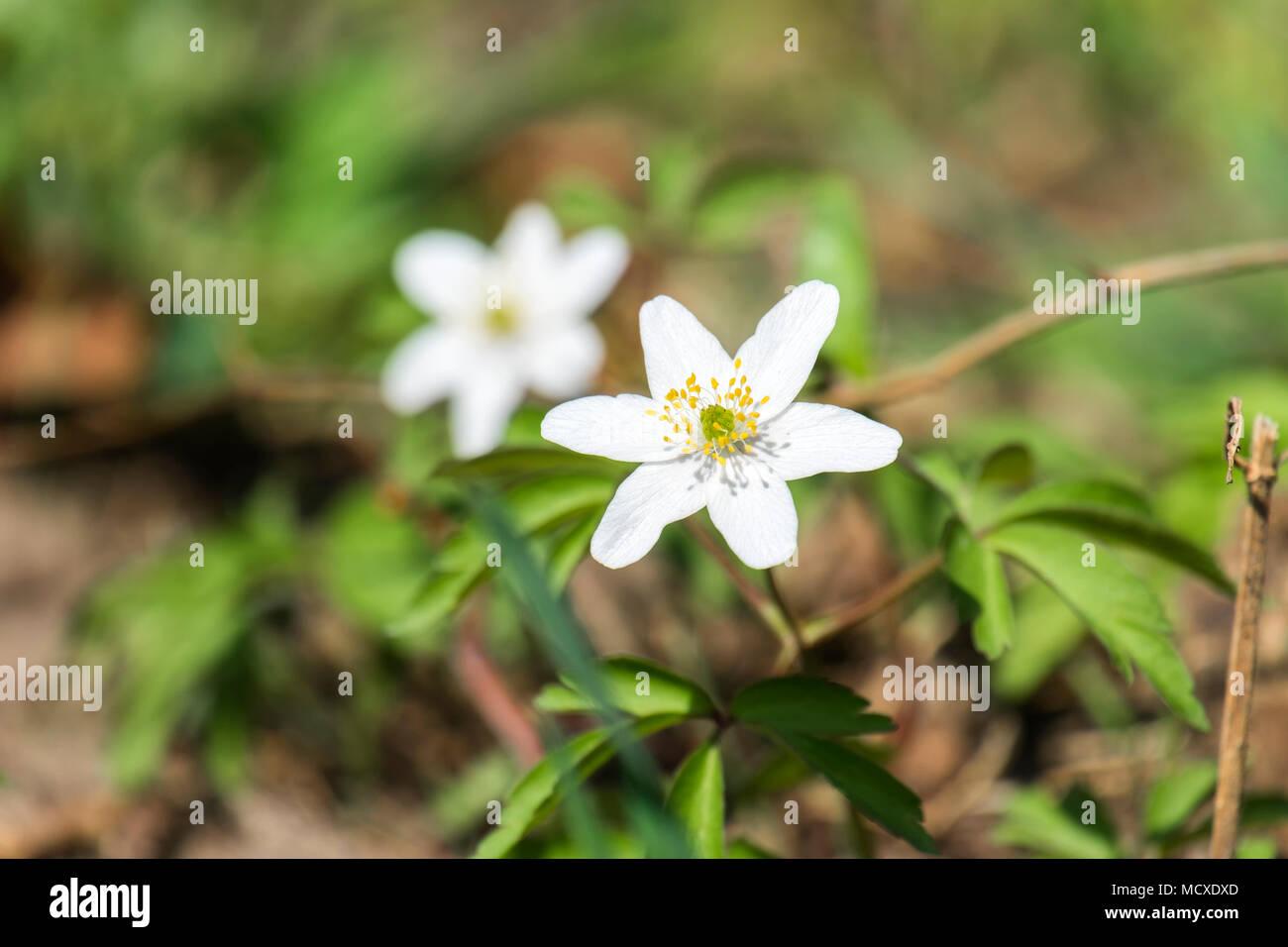 White Early Spring Flower Of Wood Anemone Anemone Nemorosa Stock