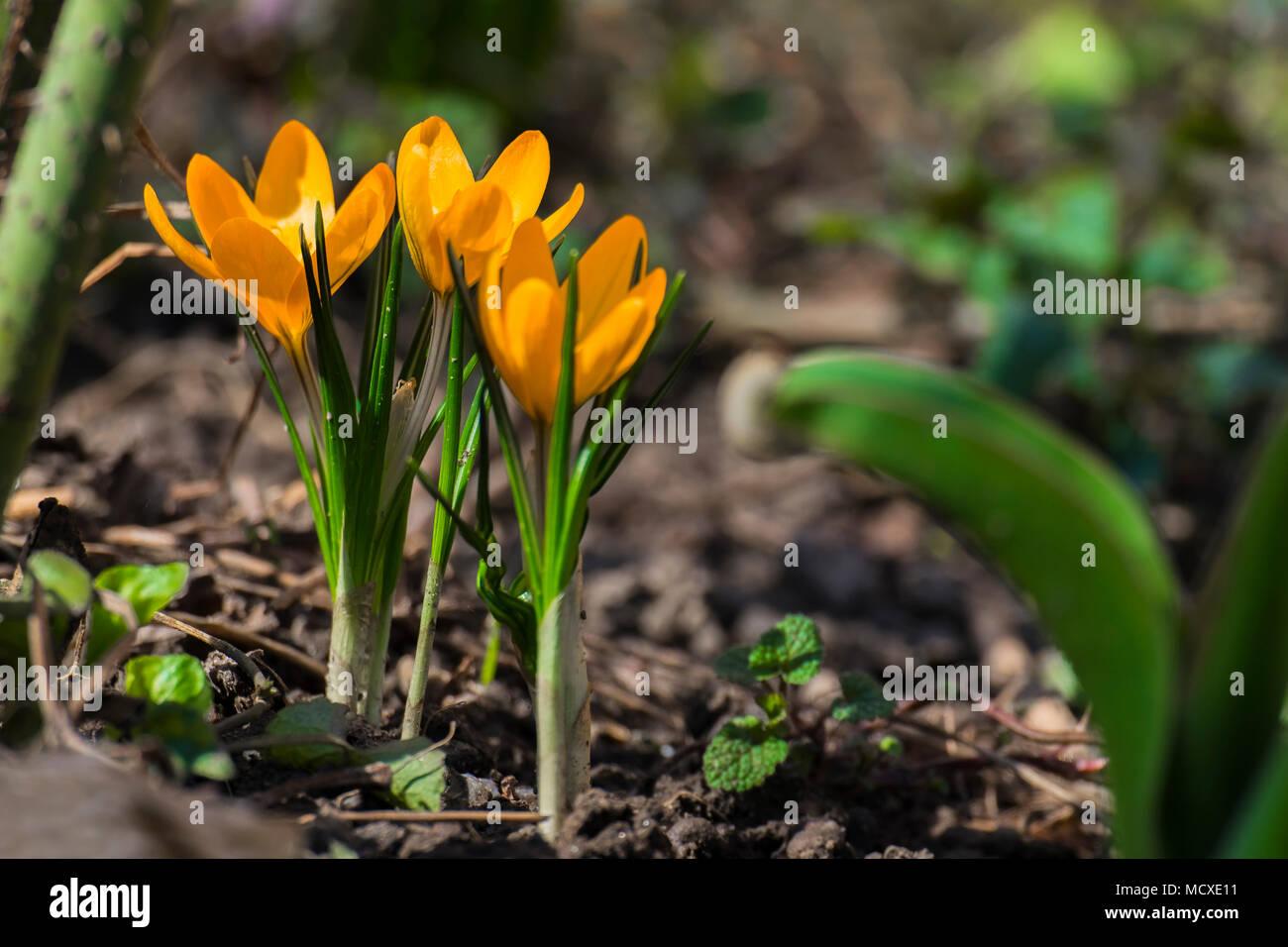 Yellow Crocus Flower In The Garden Crocus Flavus Stock Photo