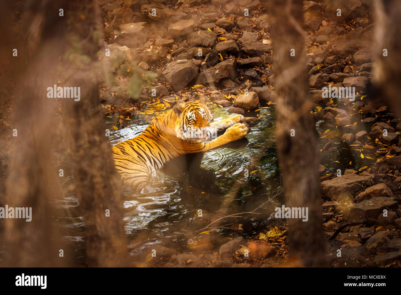Snarling Bengal tiger (Panthera tigris) laying cooling in a waterhole partially concealed, Ranthambore National Park, Rajasthan, northern India - Stock Image