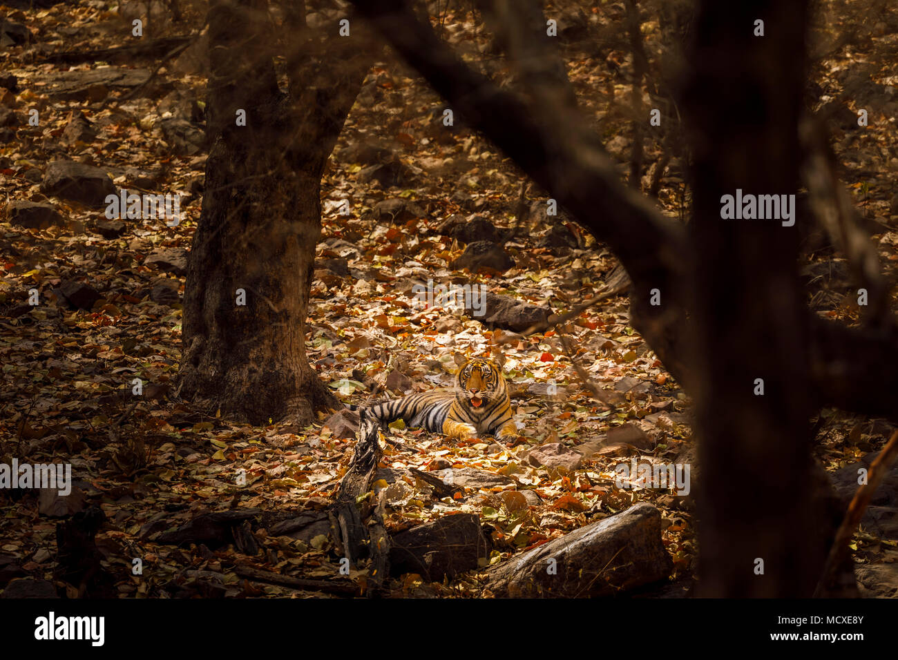 Bengal tiger (Panthera tigris) laying down at rest camouflaged in dappled light in woodland, Ranthambore National Park, Rajasthan, northern India - Stock Image