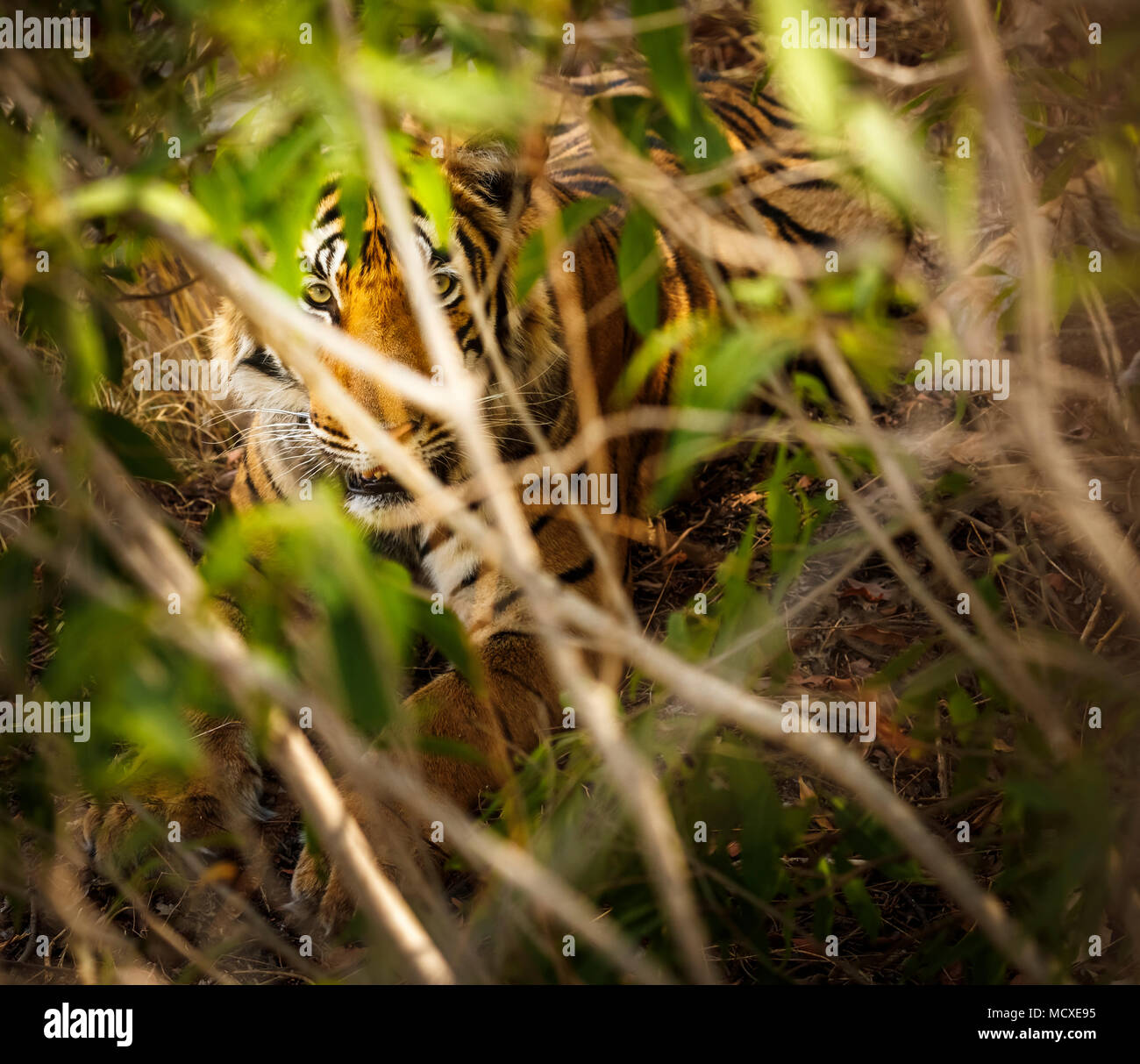Male Bengal tiger (Panthera tigris) concealed in undergrowth, Ranthambore National Park, Rajasthan, northern India - Stock Image