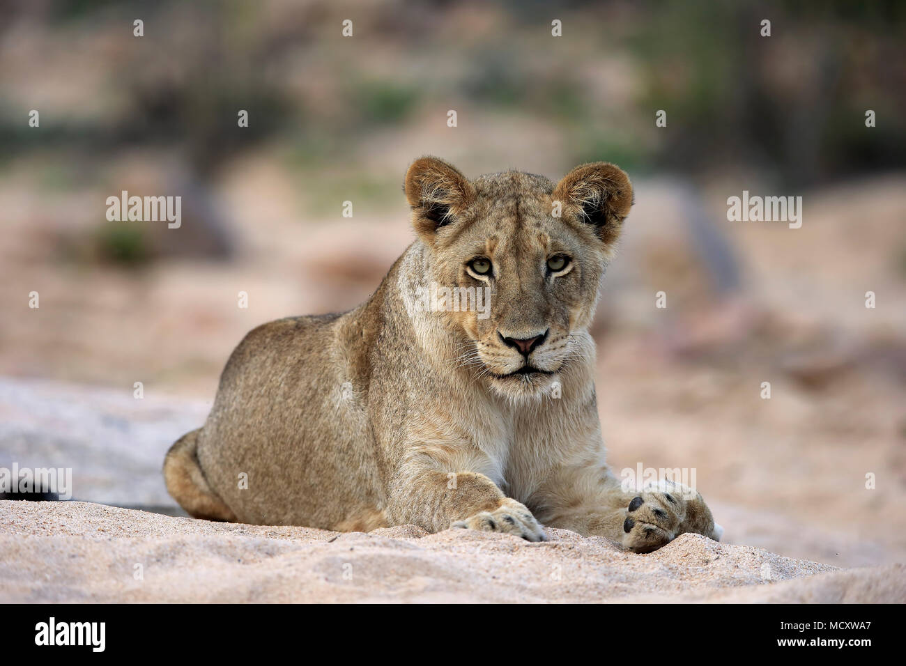 Lion (Panthera leo), adult female, attentive, observing, sitting in dry riverbed, Sabi Sand Game Reserve, Kruger National Park - Stock Image