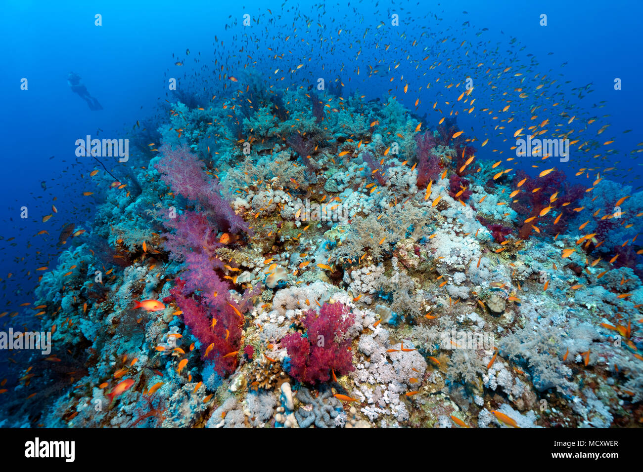 Swarm of Anthias (Anthiinae), with Soft corals (Alcyonacea) overgrown coral reef, Elphinstone Reef, North Plateau, Red Sea - Stock Image