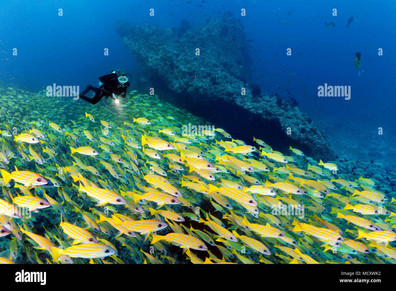 Diver watches large shoal of fish Bluestripe snapper (Lutjanus kasmira), Indian Ocean, Maldives - Stock Image
