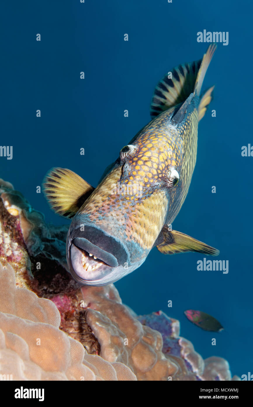 Titan triggerfish (Balistoides viridescens) from the front, mouth, teeth, Indian Ocean, Maldives - Stock Image