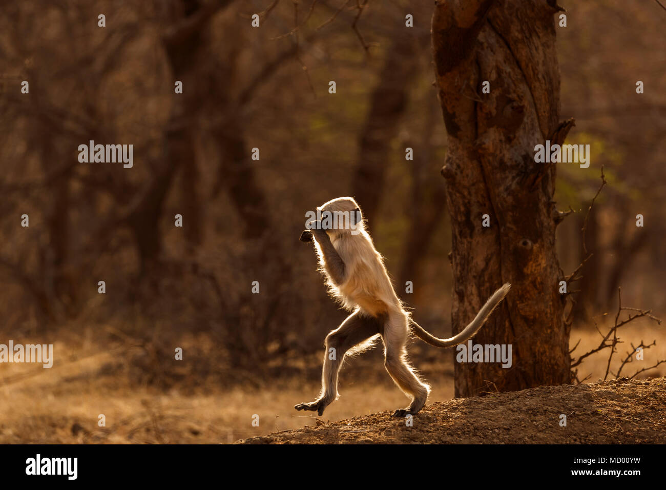 Backlit active juvenile grey langur (Semnopithecus entellus), an old world monkey, Ranthambore National Park, Rajasthan, north India, walking upright - Stock Image