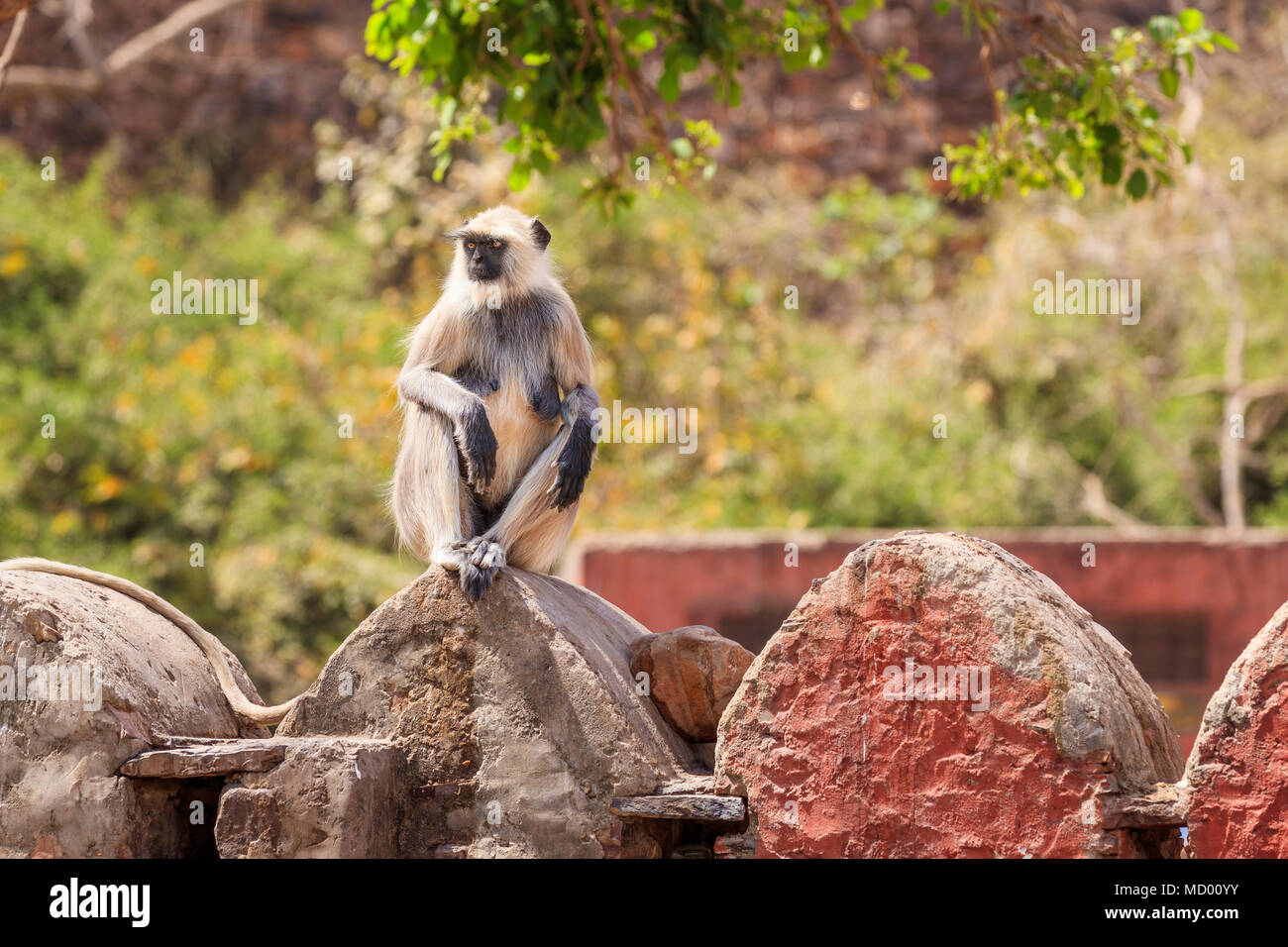 Grey langur (Semnopithecus entellus), an old world monkey, sits and relaxes on a wall in Ranthambore National Park, Rajasthan, northern India - Stock Image