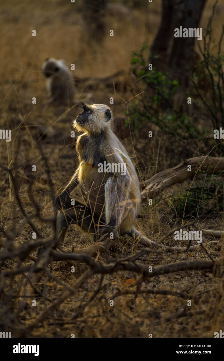 A backlit adult grey langur (Semnopithecus entellus), an old world monkey, sits on a log, Ranthambore National Park, Rajasthan, northern India - Stock Image