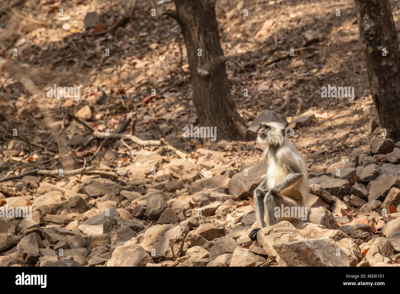 Elderly grey langur (Semnopithecus entellus), an old world monkey, sitting on rocks in Ranthambore National Park, Rajasthan, northern India - Stock Image