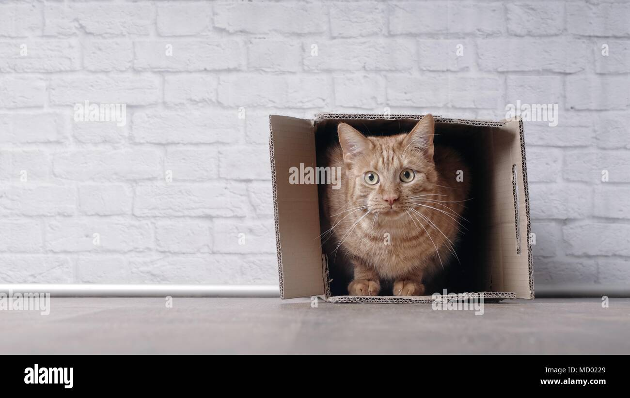 Cute ginger cat sit in a cardboard box and look curious to the camera. Stock Photo