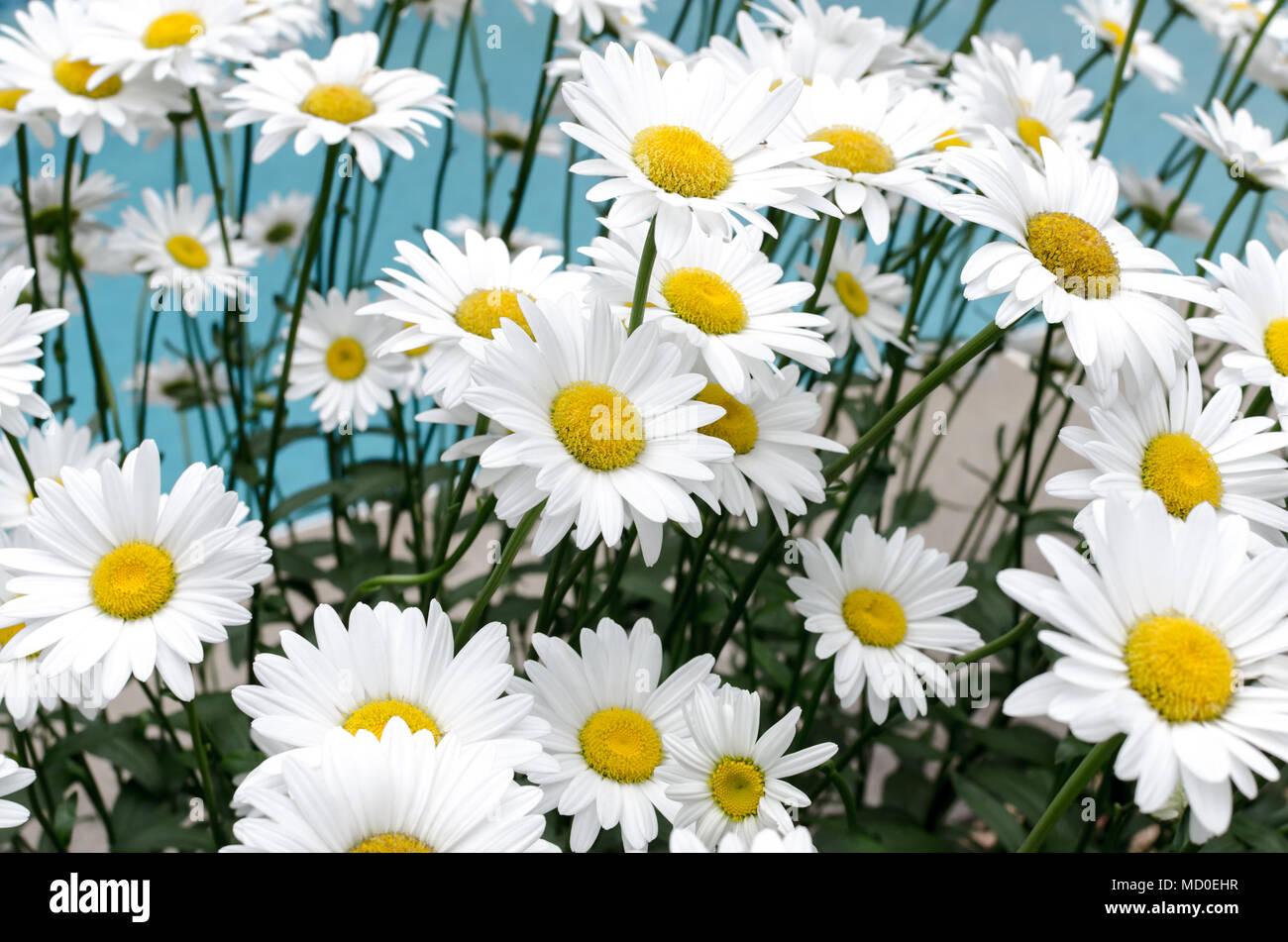Botany Daisies Daisy Flower Green Leaves Nature White Yellow Stock