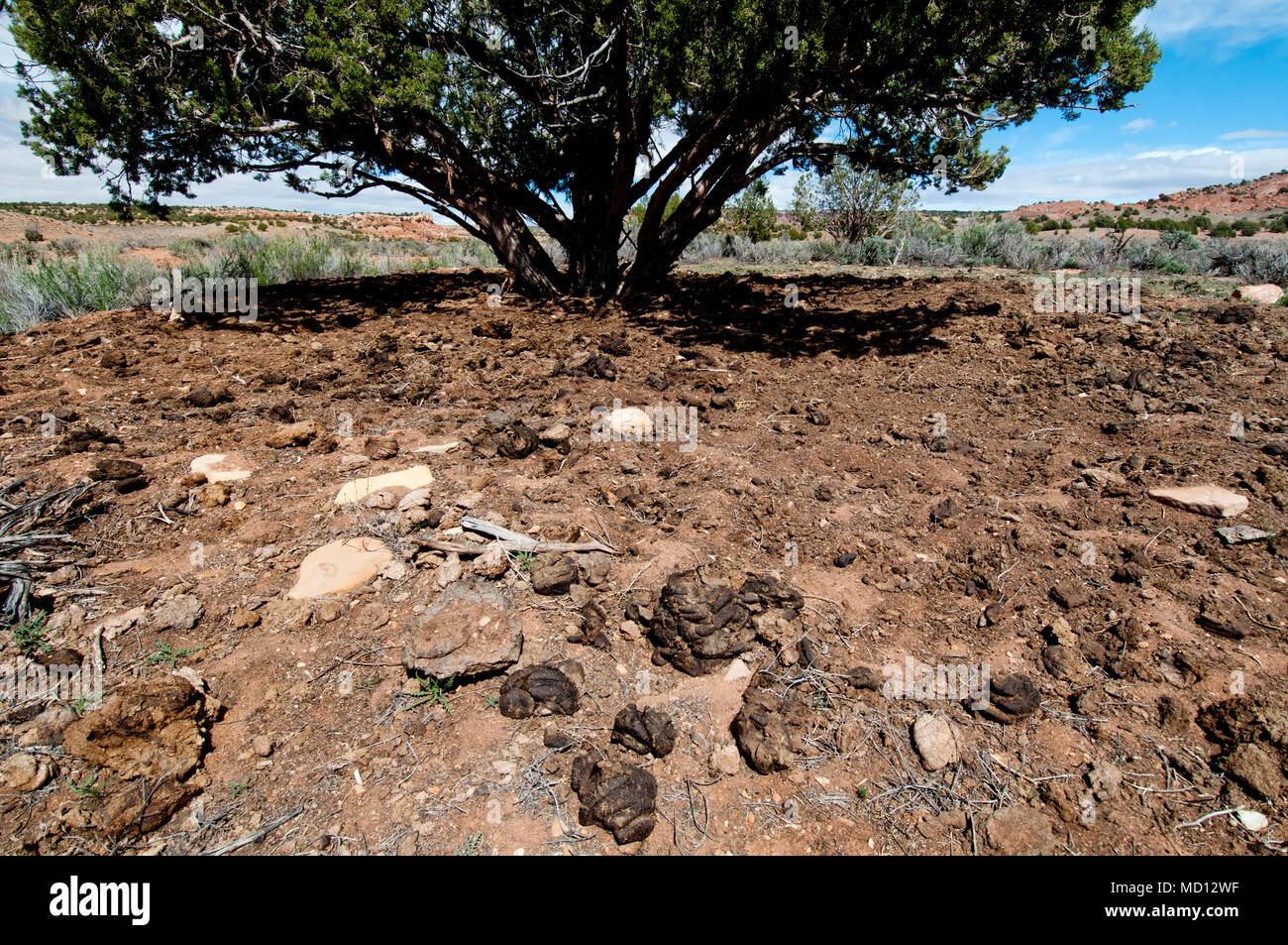 Livestock overuse and damage to rangeland on Bureau of Land Management Land in central Utah - Stock Image