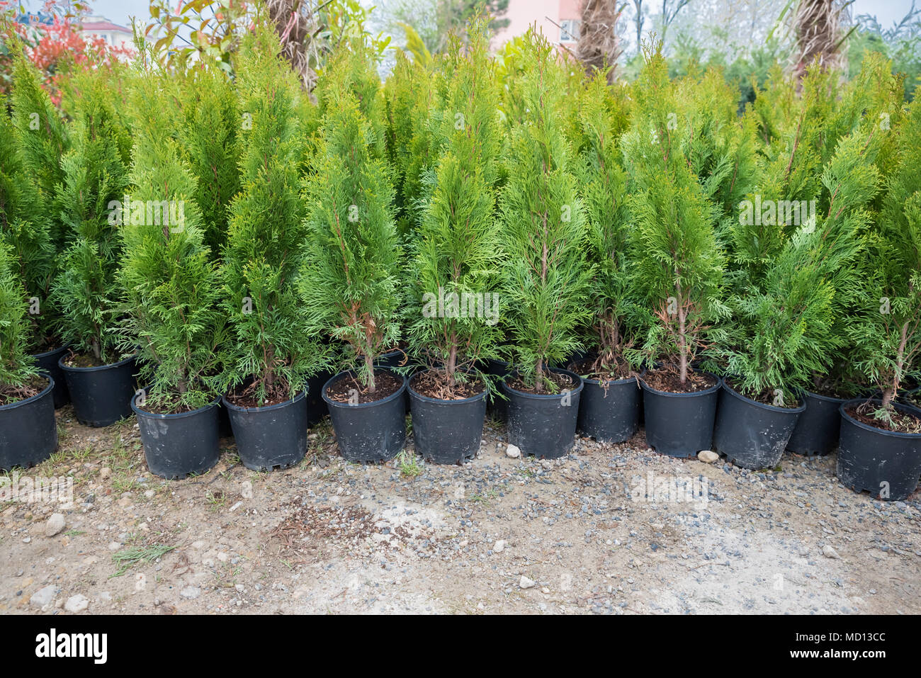 Many Green Hedge of Thuja Trees, or Green hedge of the Tui trees in plastic box for sale Stock Photo