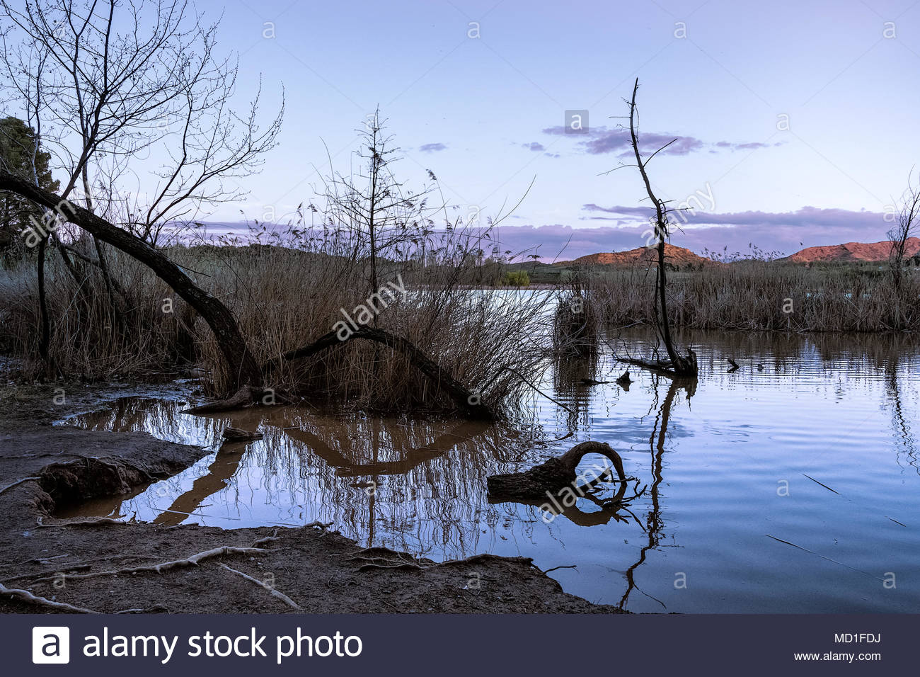 surreal landscape with broken and fallen trees in a lake at magenta dream sunset - Stock Image
