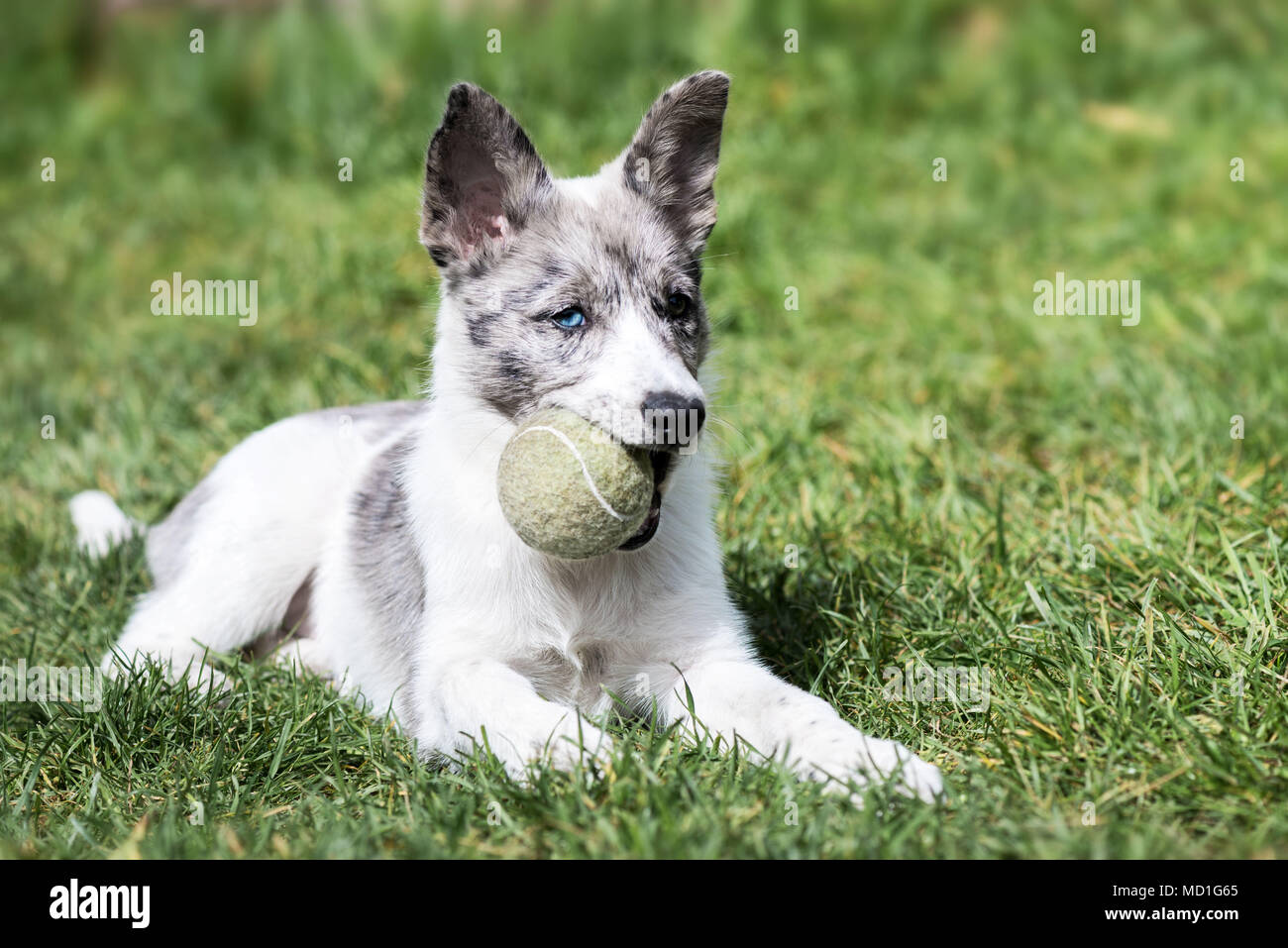Puppy of bordercollie holding a tennis ball in the mouth - Stock Image
