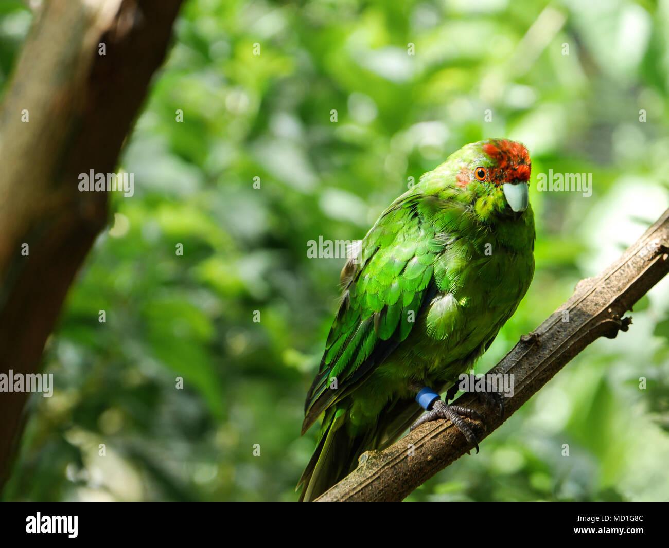 New Zealand native species closeup - Kakariki parrot - Stock Image