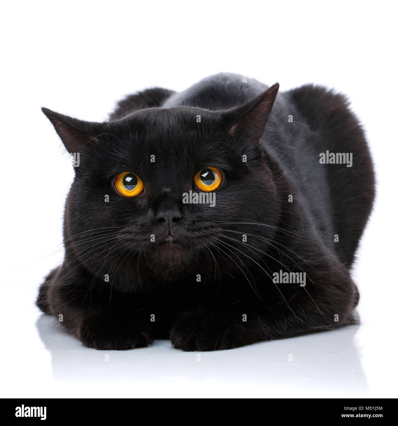Portrait Of A Cute Black Cat Scottish Straight Stock Photo