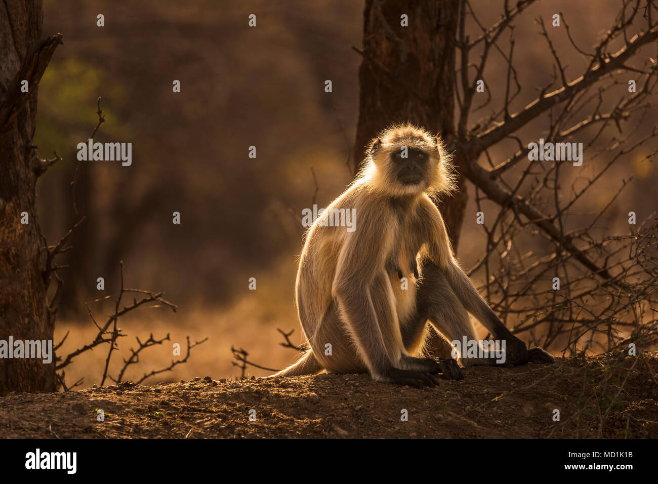 Backlit grey langur (Semnopithecus entellus), an old world monkey, sitting in woodland in Ranthambore National Park, Rajasthan, northern India - Stock Image