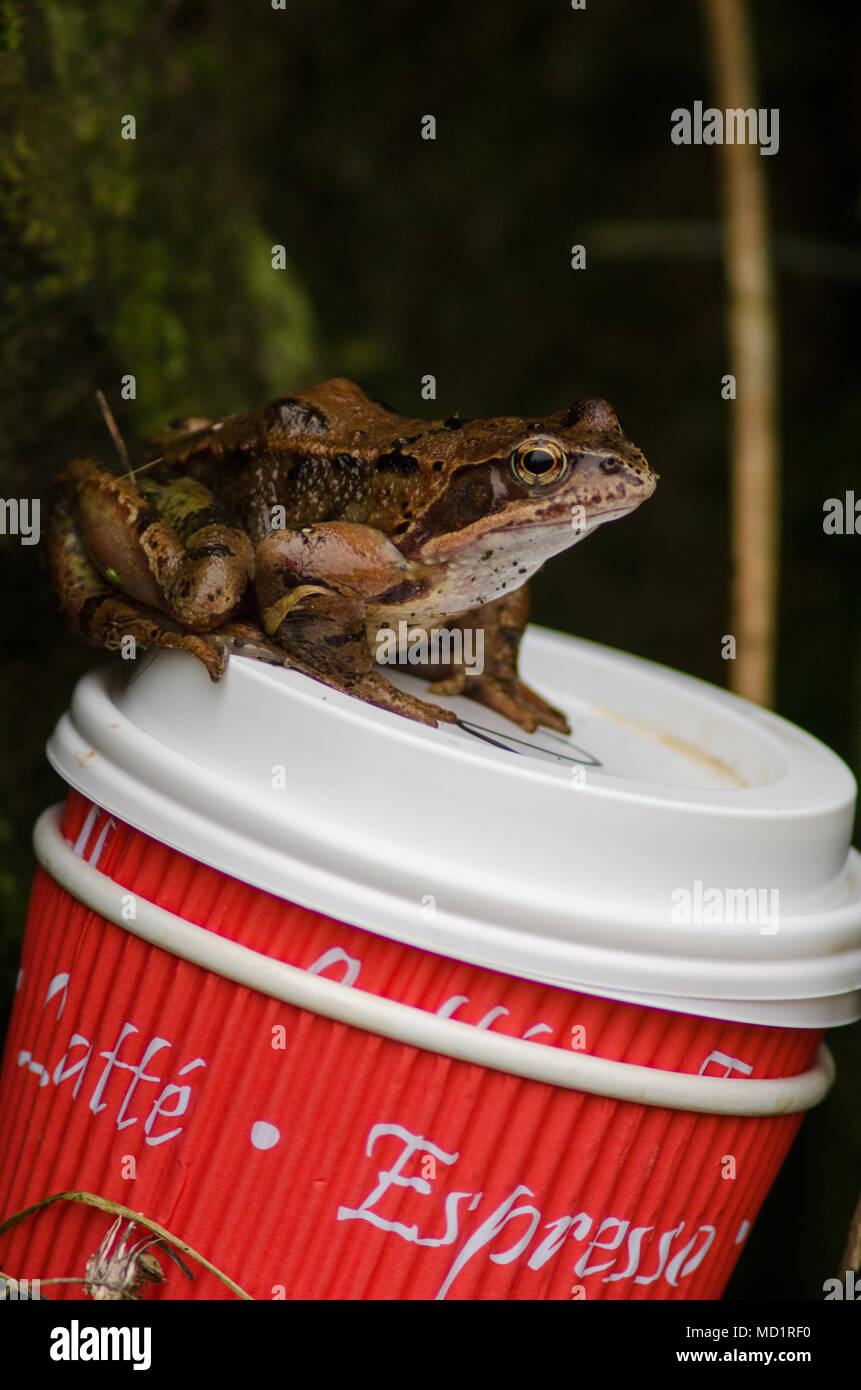 Common Frog (Rana temporaria) sits on discarded coffee cups - Stock Image
