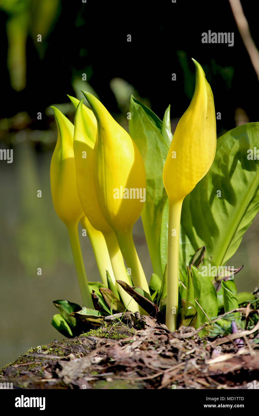 The beautiful and unusual flowers of lysichiton americanus also the beautiful and unusual flowers of lysichiton americanus also known as yellow or american skunk cabbage izmirmasajfo