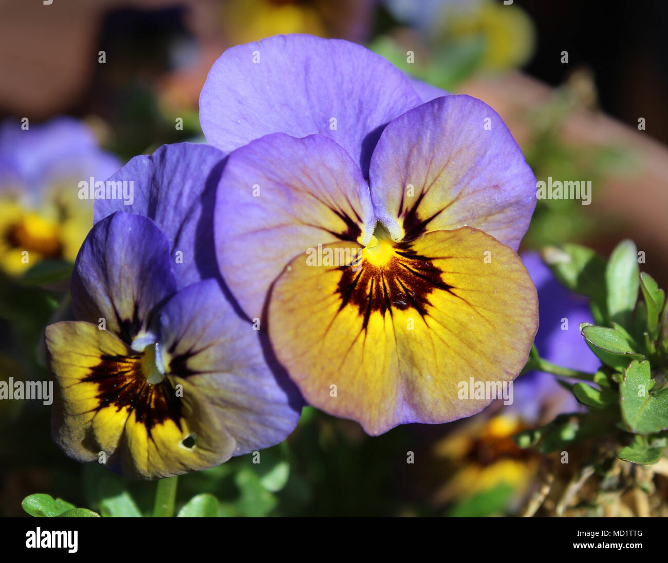 Beautiful And Unusual Violet Blue Colored Viola Flower Sunlit And