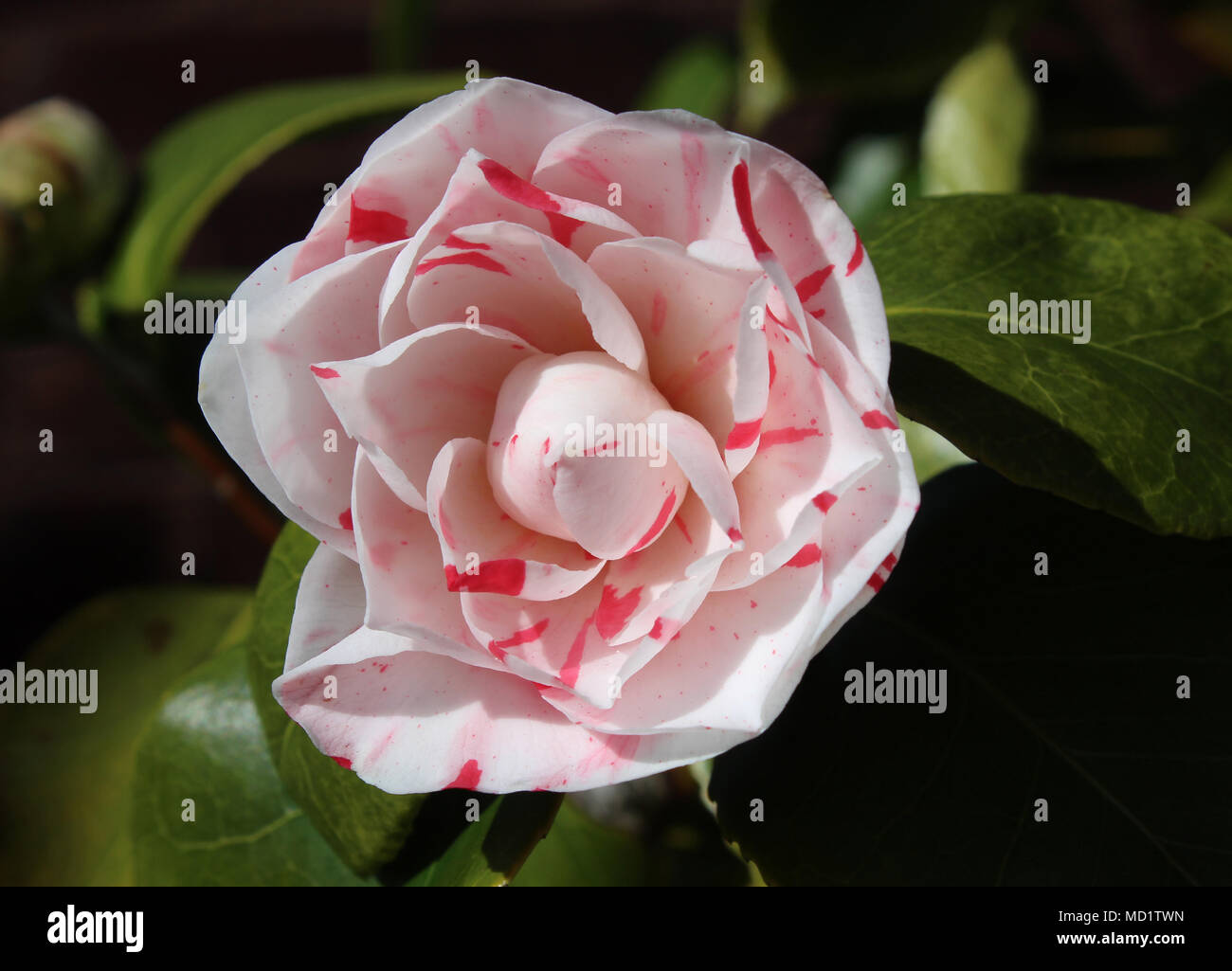 Pink And White Striped Camellia Flower Stock Photos Pink And White