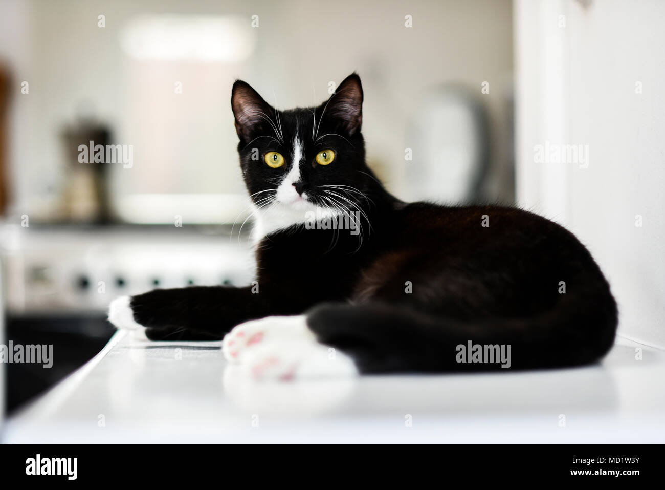 Black and white domestic cat, lying at home, relaxing and calm. - Stock Image