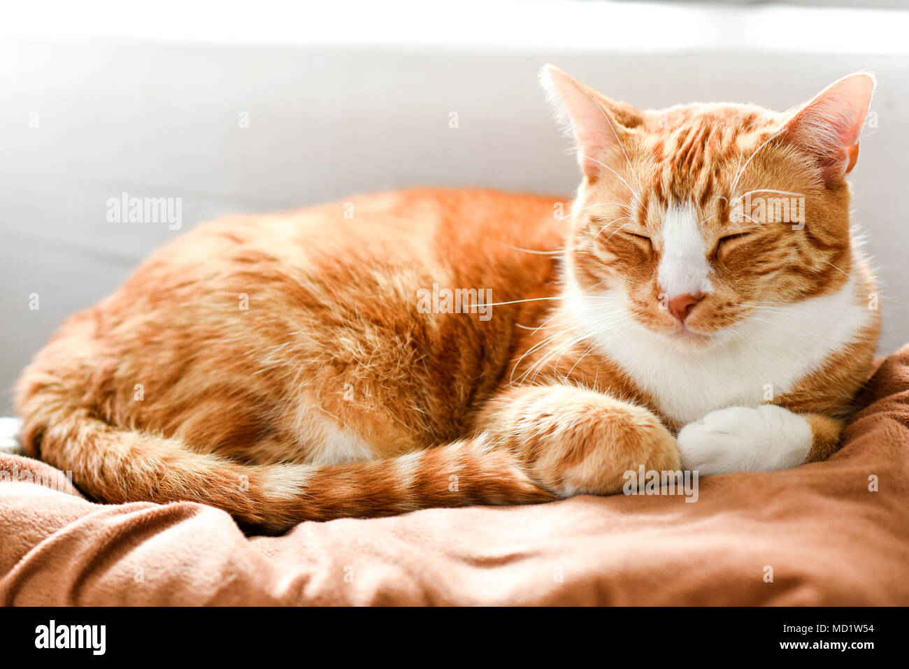 Ginger cat sleeping on the couch at home, a beautiful house cat. - Stock Image