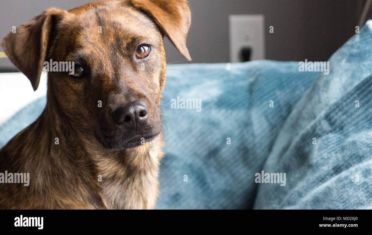 Light golden brown brindle coat dog looking at camera curiously on blanket covered couch in window light. - Stock Image