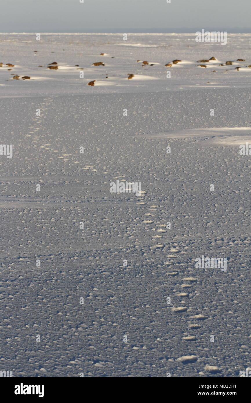 Fox paw prints or tracks in snow, near Arviat Nunavut Canada - Stock Image