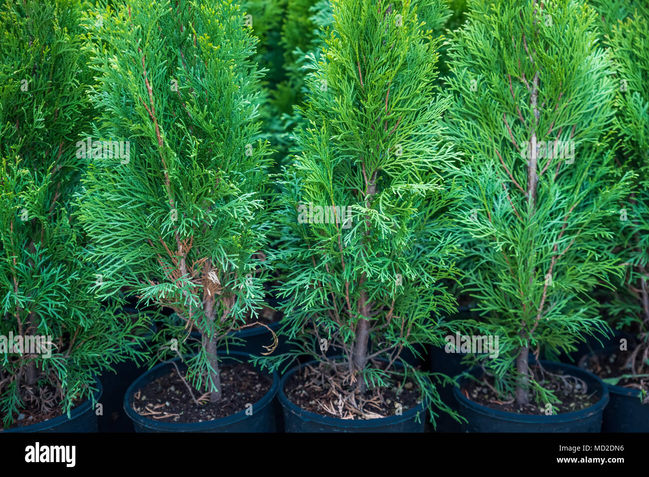 Many Green Hedge of Thuja Trees, or Green hedge of the Tui trees in plastic box for sale - Stock Image